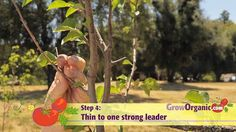 How to prune cherry, apricot, pluot, walnut, pomegranate, and persimmon trees.