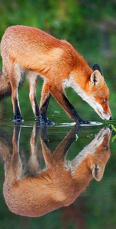 tulipnight: Foxes by Mattias Bergman Most Beautiful Animals, Beautiful Creatures, Dog Pictures, Animal Pictures, Fennec, Wolf Images, Wild Animals Photos, Fox Dog, Nature Artwork