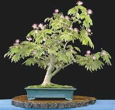 Mimosa bonsai (albiza julibrissin) care information    Mimosa, not native to North America, were imported first in 1745 from China and have become a popular shade tree in southern and coastal areas of the United States. Mimosas are easy to care for and make rather interesting bonsai due to their rather unique foliage and showy flowers. However, due to the size of their foliage they work best in larger bonsai forms such as kifu and dai.  Mimosa and picture by William N. Valavanis    The…