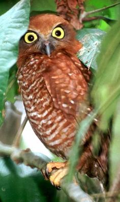 Christmas Island Hawk Owl (Ninox natalis).    Resembles a small, red-brown Boobook Owl. The breast is whitish and finely barred rufous, while the tail is dark brown with 10 rufous bands. Bill is yellowish-grey and the eyes are yellow.  They inhabit the tropical rainforest, monsoon forest and scrub of Christmas Island.