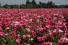 Godetia - Double Flowered Azalea field for Silver Falls Seed Company in Oregon. (Photo By Angela Rose) *Locally produced seeds from my family's farm! We have native seeds, lawn seeds, flower seeds and more. Please visit our website today at www.silverfallsseed.com