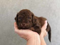71 Best Toy Labradoodle Puppies images in 2019 | Labradoodle