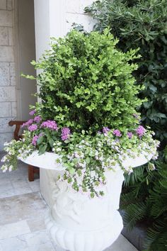 Beautiful boxwood planter at The Cloister Sea Island. I love the free form of the boxwood with the color spilling over the side. Elegant and beautiful flowers.