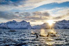 Norway #Orcas