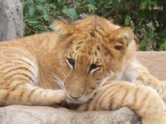 Very rare; a liger. So cute.