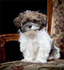 Shorkies Full Grown Goldenacresdogs Com Shorkie Tzu Yorkshire Terrier Shih Tzu Mix Info Pictures Shorkie Breed Information All In 2020 Shorkie Tzu Yorkie Mix Yorkie