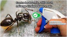 vinaigre pour repousser les fourmis