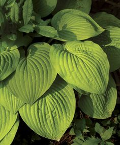 """Hosta """"August Moon"""" has deeply veined, heart-shaped leaves. This vigorous grower typically reaches 20 to 24 inches tall and 36 to 42 inches wide. Their yellow luminescent leaves glow at dusk & at dawn as well as on rainy or overcast days. Good for brightening up dark corners of the garden."""
