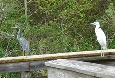 Bird Photos, Birding Sites, Bird Information: TRICOLORED HERON & JUVENILE LITTLE BLUE HERON, GRE...