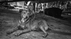 This monkey was best friends with this dog and would ride around on its back. Deep in North Thailand http://ift.tt/2sZ07DH