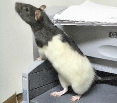 """black and white hooded rat - past - """"Spike"""". Loved to pull my nose ring out of my nose (no backing) and hide it under the fridge."""