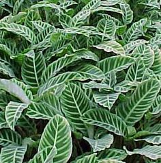 Calathea is tropical plant that is also known as the Zebra Plant (Calathea zebrina).