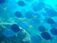 Blue Tangs, British Virgin Islands