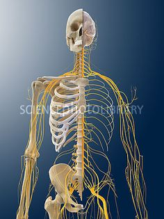 Nervous system, artwork