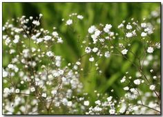 Baby's Breath Flowers, Grow Baby's Breath Flowers Special Occasion