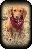 Brattleboro, VT - Dachshund. Meet Tawnie a Dog for Adoption w/ Last Chance Arkansas Dog Rescue  Susan@susanshad@hotmail.com