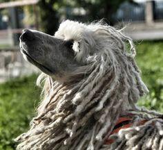 #dog #poodle #white #czech_world #czech #instaczech #instadialy #igraczech #igerscz
