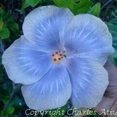 Looking for the Blue (s) – Moorea Hibiscus – Heaven on Earth Beautiful Flowers, Amazing Flowers, Pretty Flowers, Hibiscus Plant, Hibiscus Rosa Sinensis, Rare Flowers, Hibiscus Flowers, Hibiscus, Tropical Flowers
