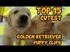 TOP 15 OF THE CUTEST GOLDEN RETRIEVER PUPPY VIDEOS OF ALL TIME .#FunnyDog #FunnyPuppy #LOL #Humor #Dogs #Puppy #Cute #CuteDogs #CutePuppy