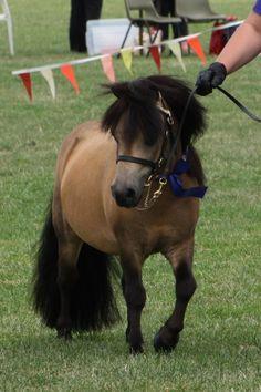 Buckskin Miniature Pony Stallion