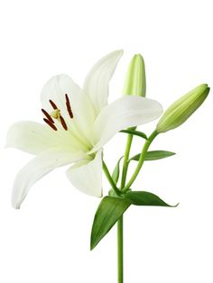 "Casa Blanca Lilies These white Oriental lilies typically stand for ""beauty, class and style,"" says Gaffney. Lily Meaning, White Lily Flower, Most Popular Flowers, Oriental Lily, Asiatic Lilies, Flower Meanings, Botanical Flowers, Flower Seeds, Cactus Flower"