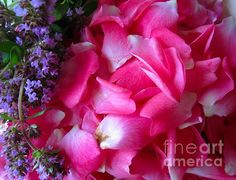 Fine Art PRINTS by Margaret Newcomb - ROSE PETALS IN THYME -Photography of pink flower carpet rose petals (Pink Supreme) resting along side freshly picked sprigs of the purple Thyme herb. #artprintsforsale #pinkroses #thyme