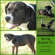 lizardmarsh Spring Branch TX (Houston area): Dog needs help He sits, shakes, and comes on command. He is great on a leash. He is at the vet right now. We need a place to foster for two weeks. We think we have a rescue that will take him in.