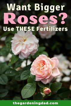 Are you interested in learning the MOST EFFECTIVE Fertilizers for Bigger Roses?  If so, this article will provide you with the Best Fertilizers for Bigger and Better Roses! Lawn And Garden, Garden Beds, Backyard Patio, Backyard Landscaping, Biodynamic Gardening, Planting Flowers, Flower Gardening, Bountiful Harvest, Homemade Cleaning Products
