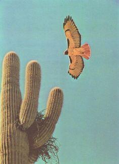 Saguaro and a nesting raptor