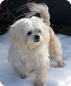 Wooster, OH - Maltese Mix. Meet Lilly, a dog for adoption. http://www.adoptapet.com/pet/12568173-wooster-ohio-maltese-mix
