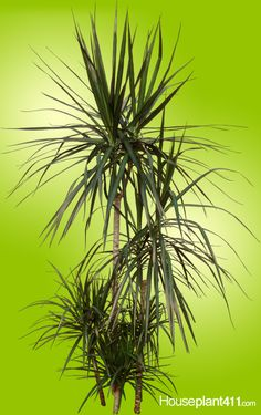 Dracaeana Marginata #houseplants, multiple canes, 100's of thin, green, leaves trimmed in red. http://www.houseplant411.com/houseplant/dracaena-marginata-plant-care