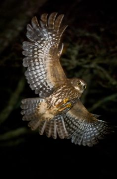 ruru in flight - Google Search