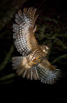 Ruru in flight. Bird Tattoo Sleeves, Animals And Pets, Cute Animals, New Zealand Art, Beautiful Owl, Cool Tats, Nature Journal, Star Art, Owl Art