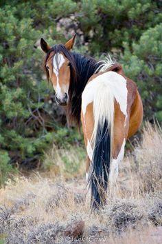 Pinto by Mark Terrell, Wild Horses of Nevada Photography