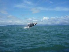 Salto de ballena Jorobada, Bahia Solano, Chocó Colombia