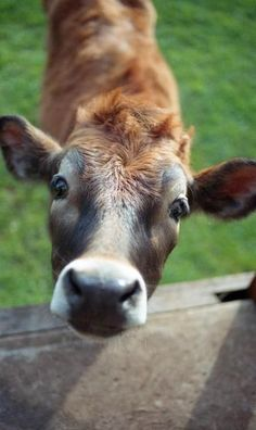 """Farm Animals Are Friends NOT Food! Beautiful cow asks. """"Whatcha doing? Farm Animals, Animals And Pets, Cute Animals, Wild Animals, Beautiful Creatures, Animals Beautiful, Beautiful Eyes, Regard Animal, Baby Cows"""