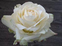 Sugar Avalanche rose