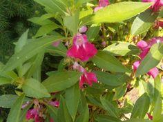 Touch Me Nots Heirloom Flower seeds - Grow a Cottage Garden