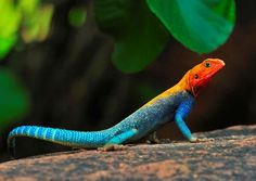 """earth-song:    """"Red-headed Agama"""" byTony Beck"""