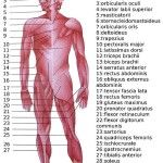 Human Muscle Diagram Diagram Of Knee Tendons Inspirational Human Muscle System Body. Human Muscle Diagram The Human Muscle Anatomy Diagram Of Anatomy. Skeletal Muscle Anatomy, Muscular System Anatomy, Human Muscular System, Human Muscle Anatomy, Human Body Systems, Human Anatomy And Physiology, The Human Body, Human Body Muscles, Types Of Muscles