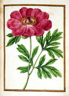 Jacques le Moyne de Morgues, Pub: DuMarry (Dieppe c1533-1588) This magnificent botanical painting, executed in watercolor and gouache, is from only the fifth florilegium identified to be by Jacques Le Moyne to date. Le Moyne's Florilegium is roundly considered to be his finest achievement; he was among a rare and exclusive group of artists who specialized in the creation of florilegia. Most examples were printed, following in the tradition of the herbals of such authors as Leonhart Fuchs