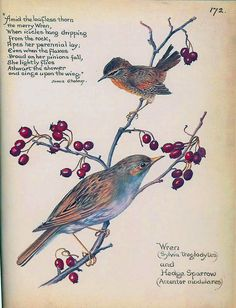 Winter wren - Morning Earth Artist/Naturalist Edith Holden