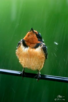 Swallow in the rain