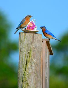 Eastern Bluebird Pair >Marksville, Louisiana Photo taken by Jillian Coco, daughter of Johnny and Jill Coco
