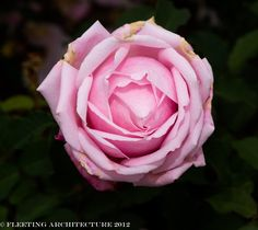 Roses at Longwood Gardens   1