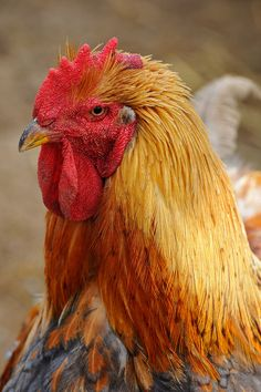 chicken head by Michigan Nut, via Flickr