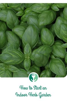 Pure Basil (Ocimum basilicum) Essential Oil Now Back In Stock. Basil essential oil has a number of great benefits. Read Up On Basil Now And Grab Some At The Checkout. Fresh Basil, Fresh Herbs, Fresh Vegetables, Herbs Image, Vegan Pesto Pasta, Herb Garden Kit, Basil Essential Oil, Essential Oils, Herbs Indoors