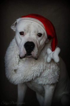 Ready for Christmas, American Staffordshire Terrier.