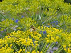 Dill Seed Oil, Some Uses
