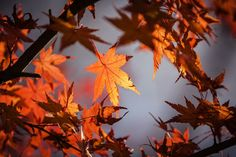 Herbsturlaub, Japan, Natur, Ahorn